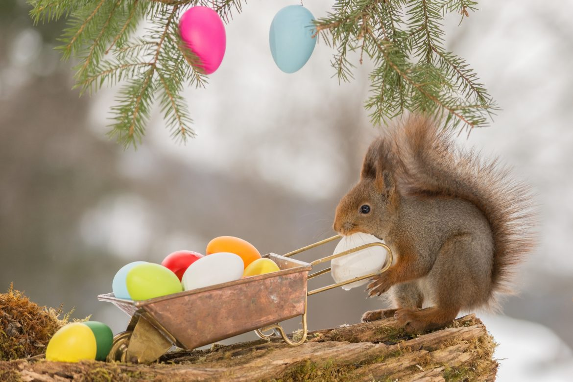 close up of red squirrel with a wheelbarrow and eggs with egg in mouth